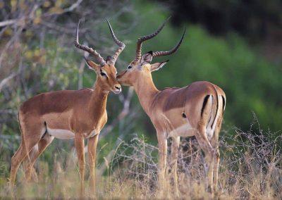 2 impala